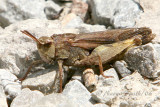 Northern Green-striped Grasshopper #6534