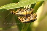 Trirhabda canadensis-Skeletonizing Beetles #9403