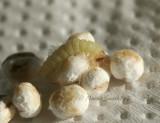 Meal Moth Caterpillar D7 #5852