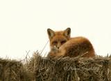 Red Fox JA8 #6143