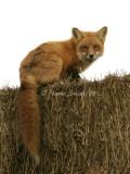 Red Fox JA8 #6163