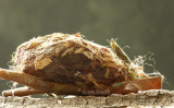 Hyalophora euryalus MY8 #9081