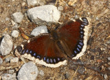 Mourning Cloak-Nymphalis antiopa  MY8 #9203.