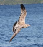 Yearling Gull