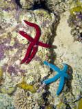 Blue & Red Linkia