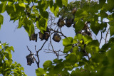 Flying Foxes Sleeping