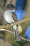 Puerto Rican flycatcher (Juí ) [ENDEMIC]