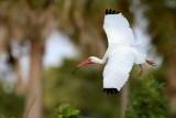 White Ibis flight