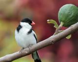Pin-tailed Whydah (Viuda Colicinta)