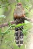 Puerto Rican Lizard-Cuckoo (Pájaro Bobo Mayor) [ENDEMIC]