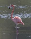 Flamenco (Flamingo)