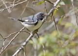 Black-throated Blue Warbler (Reinita Azul)