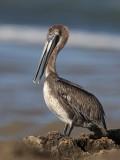 Brown Pelican (Pelicano Pardo)