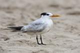 Royal Tern (Charran Real)