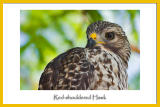 Curious Red-Shouldered Hawk
