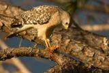 Red-shouldered Hawk with carcass