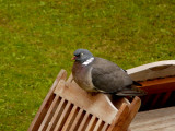 The Fat Pigeon