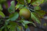 The shy apple