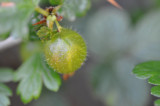 A gooseberry in May