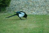 The magpie gets the gooseberry