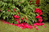 When the peonies fell,