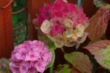 The discreet charm of an ageing hydrangea
