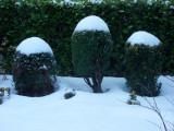 The shrubs that look like Christmas puddings