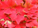 The hydrangea in her autumn dress