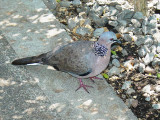 Haw4990 Spotted Dove.jpg