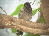 Haw4991 Red-Vented Bulbul.jpg