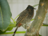 Haw4994 Red-Vented Bulbul.jpg