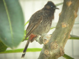 Haw4996 Red-Vented Bulbul.jpg