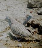 Haw3818 Zebra Doves.jpg