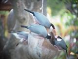 Haw3900 Java Sparrows.jpg