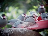 Haw3909 Java Sparrows Feeder Tray.jpg