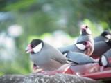 Haw3911 Java Sparrows.jpg
