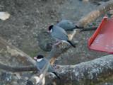 Haw3921 Java Sparrows.jpg
