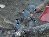 Haw3923 Java Sparrows.jpg