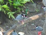 Haw3925 Java Sparrows.jpg