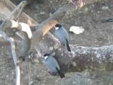 Haw3926 Java Sparrows.jpg