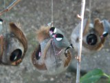 Haw3928 Java Sparrows.jpg