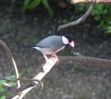 Haw3931 Java Sparrow.jpg