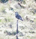 Haw4185 Short-eared Owl.jpg