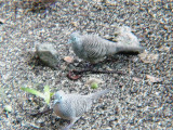 Haw4877 Zebra Doves in Motion.jpg
