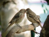 Haw4942 House Finches.jpg