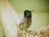 Haw4982 Red-vented Bulbul.jpg