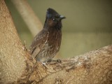 Haw4984 Red-vented Bulbul.jpg