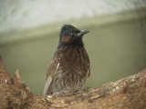 Haw4988 Red-vented Bulbul.jpg