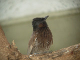 Haw4989 Red-vented Bulbul.jpg