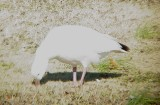 Geese5442 Ross's.JPG